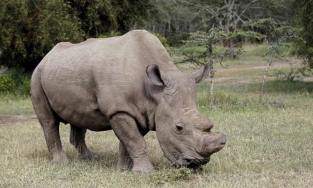 The demise of the last male Northern White Rhino