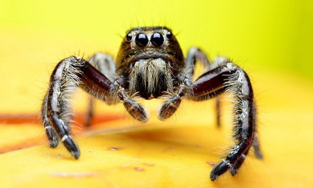 Top Five Spiders